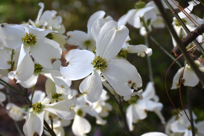 Appalachian Spring Flowering Dogwood Cornus Florida
