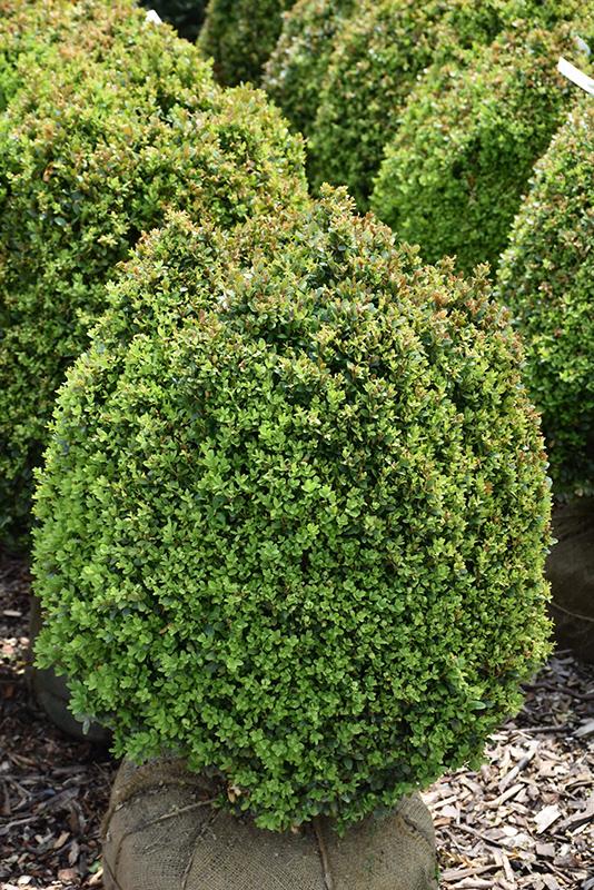 Dwarf English Boxwood Buxus Sempervirens Suffruticosa