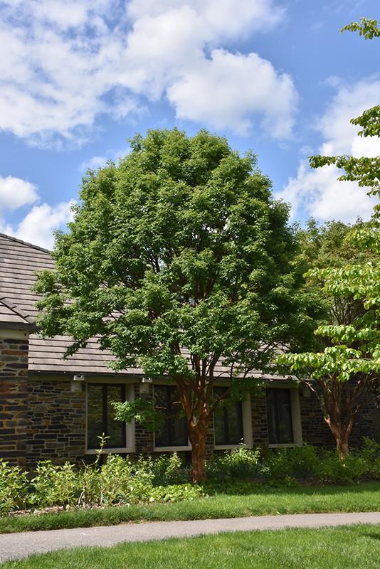 Paperbark Maple Acer Griseum In Columbus Dublin Delaware