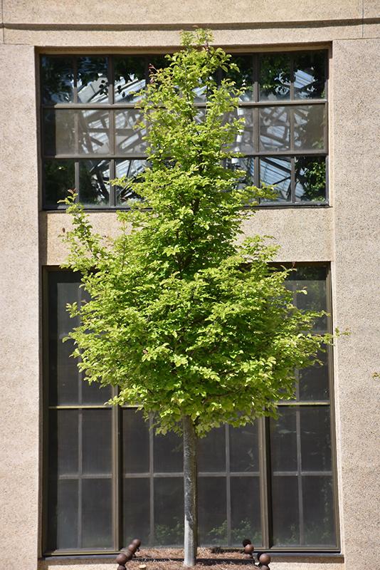 Persian Parrotia Parrotia Persica In Columbus Dublin
