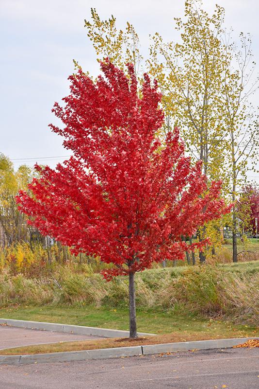 Autumn Spire Red Maple Acer Rubrum Autumn Spire In