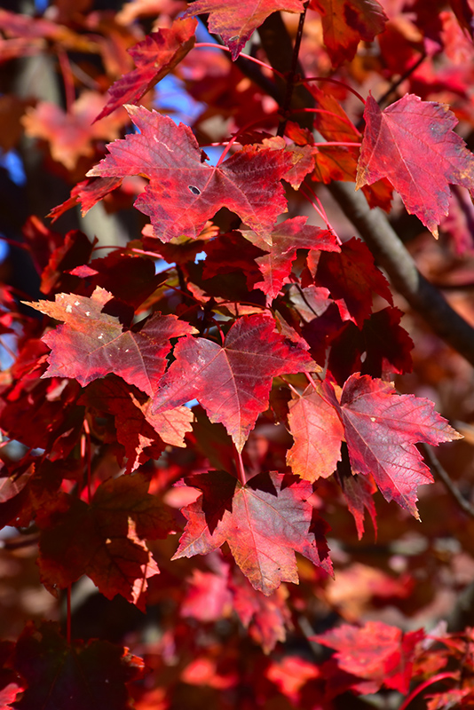Autumn Flame Red Maple Acer Rubrum Autumn Flame In