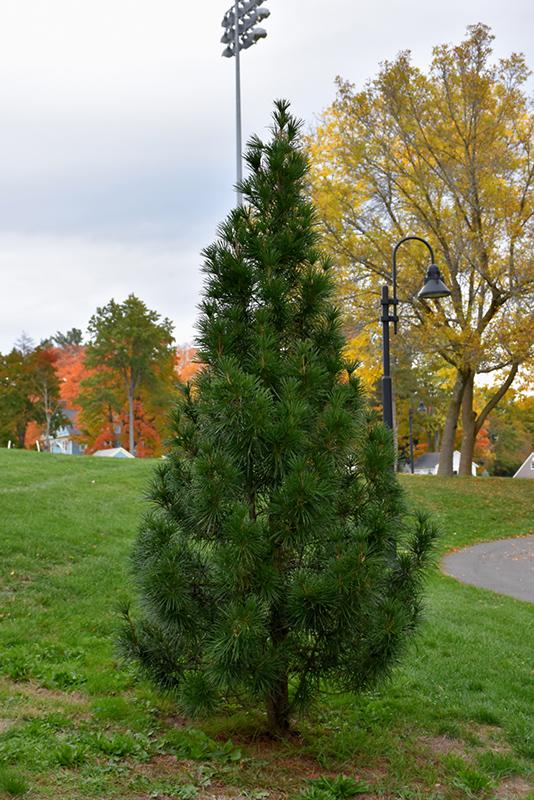Wintergreen Umbrella Pine Sciadopitys Verticillata Wintergreen