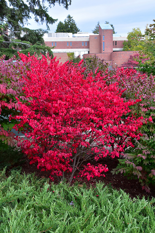 Compact Winged Burning Bush Euonymus Alatus Compactus