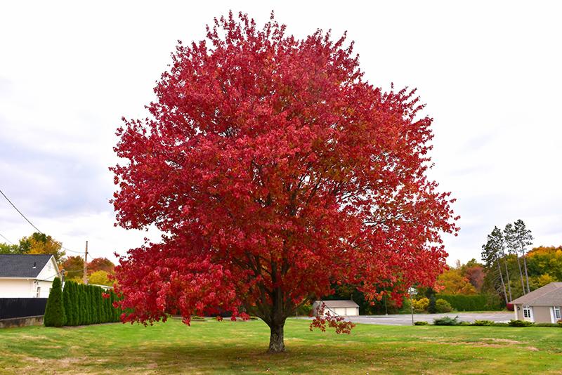 Red Maple Acer Rubrum In Columbus Dublin Delaware Grove