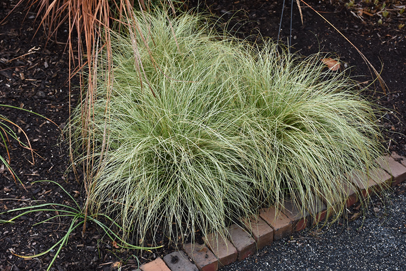 New Zealand Hair Sedge Carex Comans Frosted Curls In