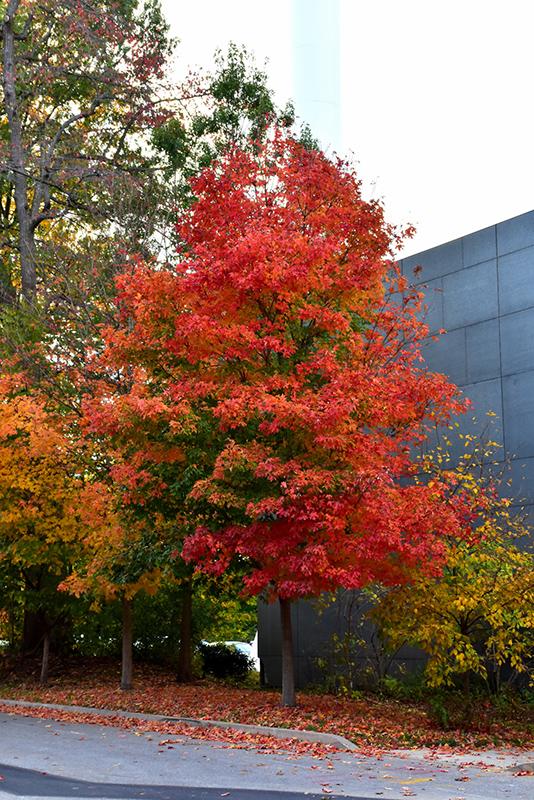 Fall Fiesta Sugar Maple Acer saccharum