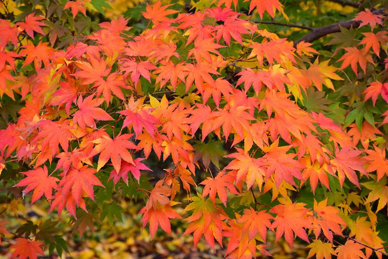 Japanese Maple Acer Palmatum In Columbus Dublin Delaware Grove