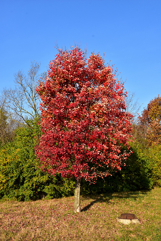 Autumn Flame Red Maple Acer Rubrum Autumn Flame In Columbus