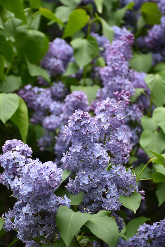 Wedgewood Blue Lilac Syringa Vulgaris Wedgewood Blue