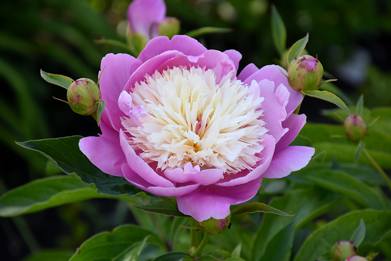 bowl of beauty peony paeonia bowl of beauty in
