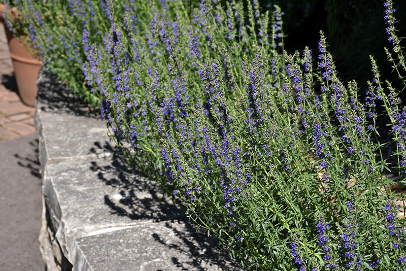 Our Growing Hyssop Ideas