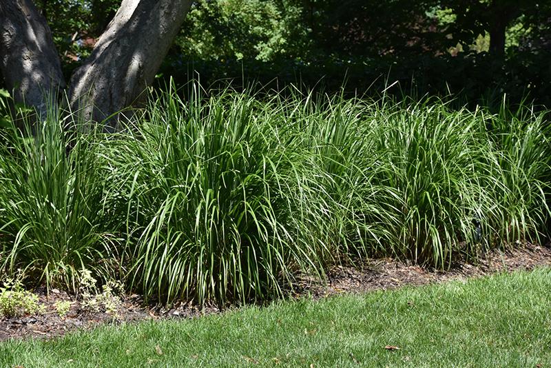 Korean Reed Grass Calamagrostis Brachytricha In Columbus