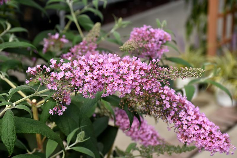 Pink Delight Butterfly Bush Buddleia Davidii Pink