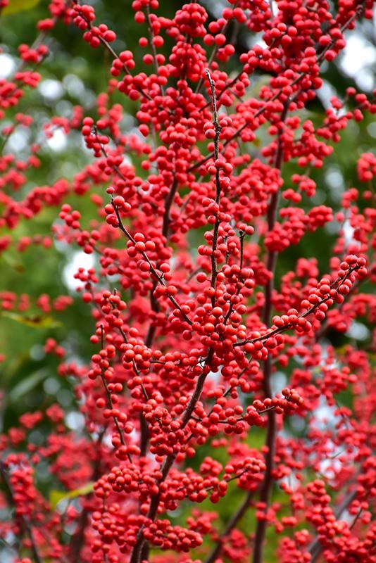 Winter Red Winterberry Ilex Verticillata Winter Red In