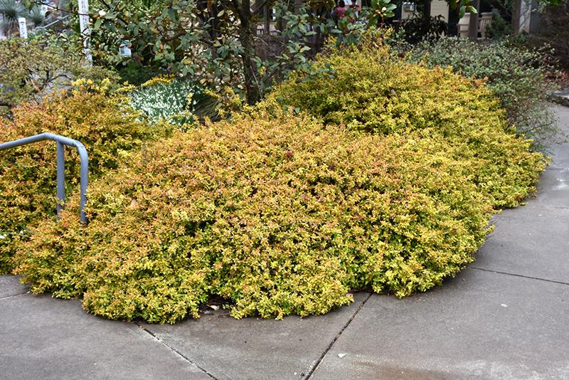 Kaleidoscope Abelia Abelia X Grandiflora Kaleidoscope In
