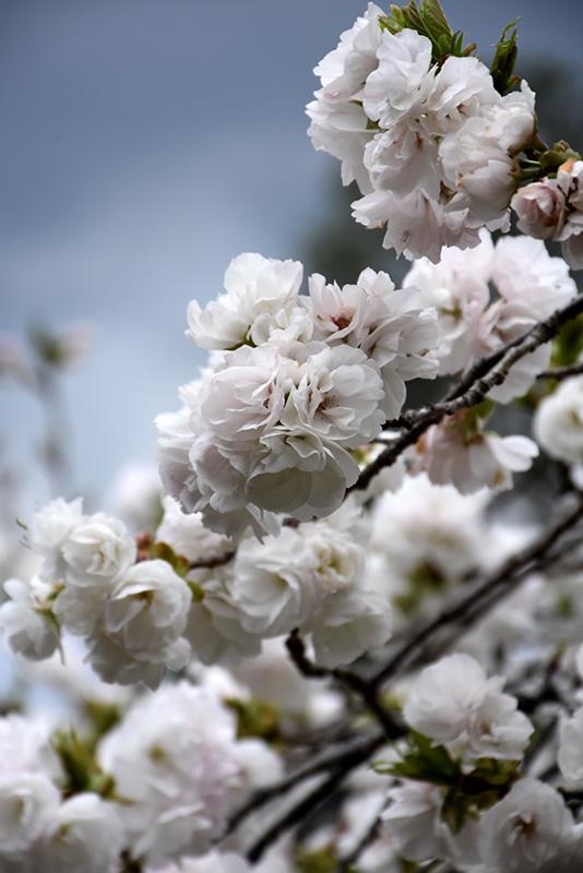 Mt Fuji Flowering Cherry Prunus Serrulata Shirotae In