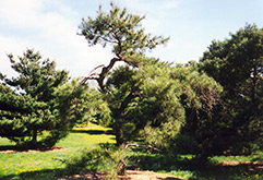 Japanese Red Pine (Pinus densiflora) at Oakland Nurseries Inc