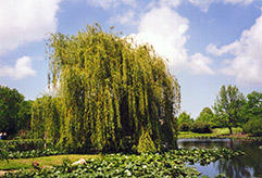 Golden Weeping Willow (Salix alba 'Tristis') at Oakland Nurseries Inc