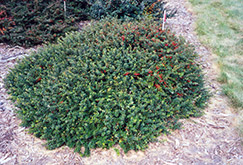 Kobold Japanese Barberry (Berberis thunbergii 'Kobold') at Oakland Nurseries Inc
