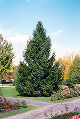 Norway Spruce (Picea abies) at Oakland Nurseries Inc