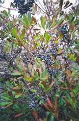 Northern Bayberry (Myrica pensylvanica) at Oakland Nurseries Inc