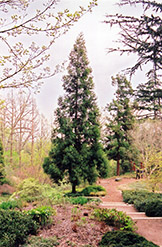 Japanese Cedar (Cryptomeria japonica) at Oakland Nurseries Inc