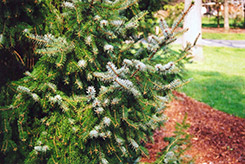 Serbian Spruce (Picea omorika) at Oakland Nurseries Inc
