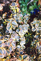 Canadale Gold Wintercreeper (Euonymus fortunei 'Canadale Gold') at Oakland Nurseries Inc