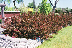 Wine and Roses® Weigela (Weigela florida 'Alexandra') at Oakland Nurseries Inc