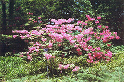 Northern Lights Azalea (Rhododendron 'Northern Lights') at Oakland Nurseries Inc