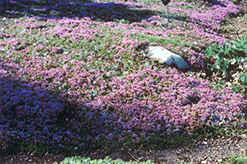 Mother-of-Thyme (Thymus praecox) at Oakland Nurseries Inc