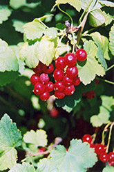 Red Currant (Ribes sativum) at Oakland Nurseries Inc