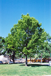 Red Oak (Quercus rubra) at Oakland Nurseries Inc