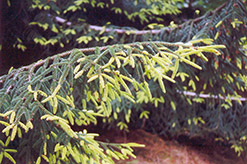 Golden Oriental Spruce (Picea orientalis 'Aurea') at Oakland Nurseries Inc