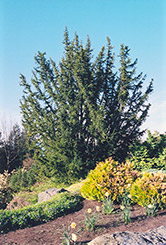 English Yew (Taxus baccata) at Oakland Nurseries Inc