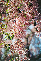 Pink Weeping Higan Cherry (Prunus subhirtella 'Pendula Rosea') at Oakland Nurseries Inc