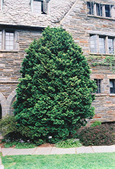 Compact Hinoki Falsecypress (Chamaecyparis obtusa 'Compacta') at Oakland Nurseries Inc