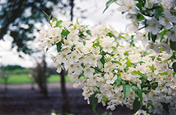 Snowdrift Flowering Crab (Malus 'Snowdrift') at Oakland Nurseries Inc