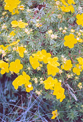 Goldfinger Potentilla (Potentilla fruticosa 'Goldfinger') at Oakland Nurseries Inc