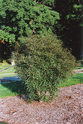 Cutleaf Glossy Buckthorn (Rhamnus frangula 'Asplenifolia') at Oakland Nurseries Inc