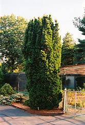 Sentinal Yew (Taxus x media 'Sentinalis') at Oakland Nurseries Inc