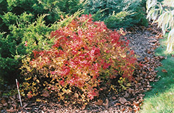 Golden Princess Spirea (Spiraea japonica 'Golden Princess') at Oakland Nurseries Inc