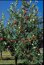 Zestar Apple (Malus 'Zestar') at Oakland Nurseries Inc