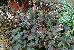 Chocolate Lace Foamy Bells (Heucherella 'Chocolate Lace') at Oakland Nurseries Inc