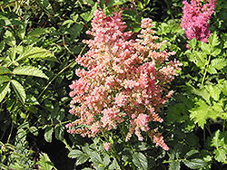 Country and Western Astilbe (Astilbe 'Country And Western') at Oakland Nurseries Inc