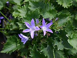 Blue Waterfall Serbian Bellflower (Campanula poscharskyana 'Blue Waterfall') at Oakland Nurseries Inc