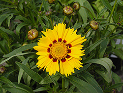 Domino Tickseed (Coreopsis 'Domino') at Oakland Nurseries Inc