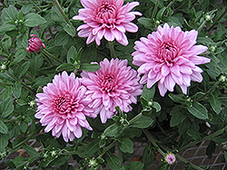 Emily Chrysanthemum (Chrysanthemum 'Emily') at Oakland Nurseries Inc