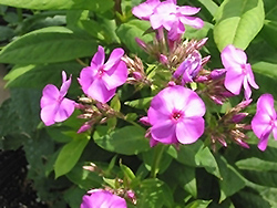 Junior Dance Garden Phlox (Phlox paniculata 'Junior Dance') at Oakland Nurseries Inc